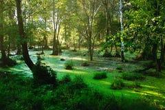 Болото в ландшафте леса леса лета в солнечном вечере стоковая фотография rf