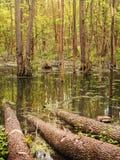 Болото леса Стоковое Изображение RF