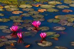 болото лотоса Стоковые Изображения