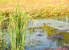 Болото риса близко Стоковое Изображение