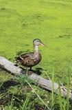болото утки зеленый Стоковые Изображения RF