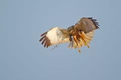 болото harrier стоковая фотография