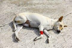 Больная собака лежит на поле Стоковое Изображение
