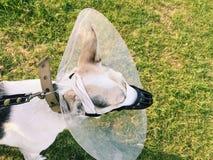 Больная собака с перевязанным намордником стоковая фотография