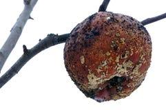 Больное яблоко Стоковое Изображение RF