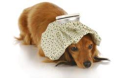 больной собаки Стоковые Изображения RF