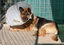 больной собаки стоковое изображение rf