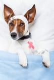 больной собаки стоковые фото