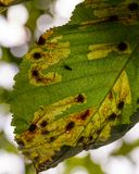 Больные лист каштана в осени Стоковое Изображение