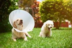 2 больных собаки на траве Стоковое фото RF