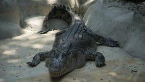 Большая Азия Cocrodile в зоопарке стоковые фото