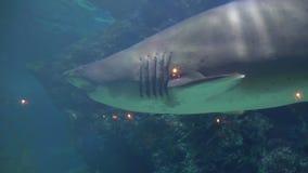 Большая акула плавает среди коралла на дне сердитое агрессивное животное в аквариуме Oceanarium сток-видео