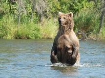 Большая аляскская хавронья бурого медведя в воде Стоковые Изображения RF