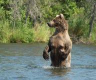 Большая аляскская хавронья бурого медведя в воде Стоковая Фотография RF