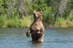Большая аляскская хавронья бурого медведя в воде Стоковое Фото