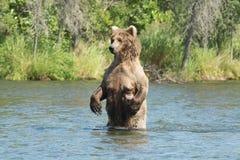 Большая аляскская хавронья бурого медведя в воде Стоковые Фотографии RF