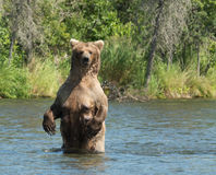 Большая аляскская хавронья бурого медведя в воде Стоковая Фотография
