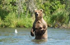 Большая аляскская хавронья бурого медведя в воде Стоковые Фото