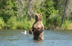 Большая аляскская хавронья бурого медведя в воде Стоковое Изображение