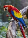 Большая ара попугая ест яблоко Стоковые Изображения