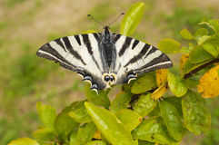 Большая бабочка с сломленными крылами Стоковая Фотография