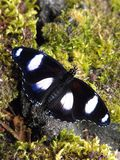 Большая бабочка Eggfly Стоковая Фотография