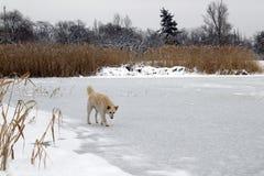 Большая бездомная собака стоит на льде озера зимы замороженного стоковые фотографии rf