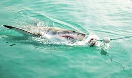 Большая белая акула гоня прикорм мяса и пробивая брешь поверхность моря стоковая фотография rf