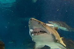Большая белая акула от вид спереди стоковые фотографии rf