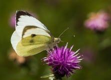 Большая белая бабочка на Thistle Стоковые Фото