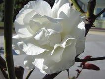 Большая белая роза в ³ n PadrÃ, Галиции, Испании Стоковые Фотографии RF