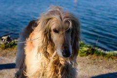 Большая белая собака афганской борзой породы стоит около озера Стоковые Изображения