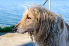 Большая белая собака афганской борзой породы стоит около озера стоковое фото rf