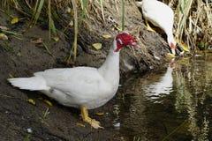 Большая белая утка на крае пруда Стоковое Изображение RF
