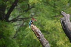 Большая белая throated птица Kingfisher в режиме potrait стоковые фото