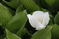 большая белизна лилии Стоковое Изображение
