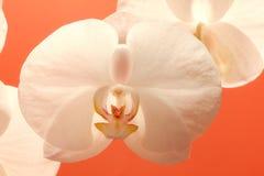 большая белизна орхидеи цветка детали Стоковое Изображение