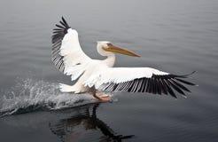 большая белизна пеликана Намибии Стоковая Фотография