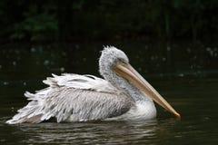 большая белизна пеликана Стоковое Изображение RF