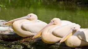большая белизна пеликана Стоковые Изображения RF