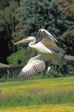 большая белизна пеликана Стоковое Изображение