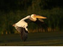 большая белизна пеликана pelecanus onocrotalus Стоковые Изображения RF