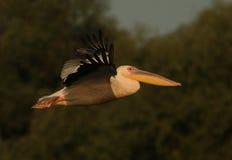 большая белизна пеликана pelecanus onocrotalus Стоковое Изображение