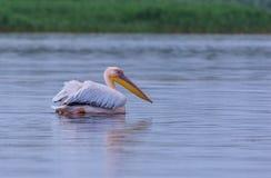 большая белизна пеликана pelecanus onocrotalus Стоковое Фото