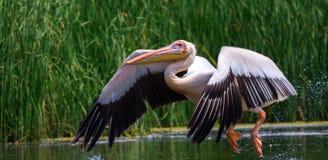 большая белизна пеликана pelecanus onocrotalus Стоковое Изображение RF