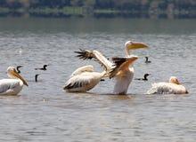большая белизна pellecanus пеликана onocrotalus Стоковые Изображения