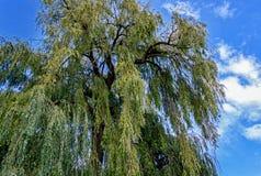 Большая верба Вавилона babylonica Salix или плача верба Стоковые Изображения RF