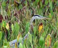 Большая голубая цапля на гнезде стоковая фотография