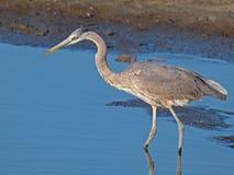 Большая голубая цапля охотясь в болоте стоковые изображения