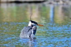 Большая голубая цапля пробуя уловить рыб closeup стоковые фотографии rf